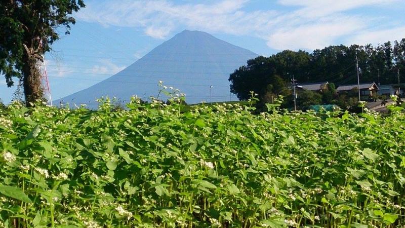 岩本山蕎麦畑からの富士山