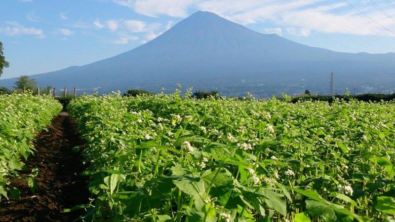 岩本山蕎麦畑からの富士山2