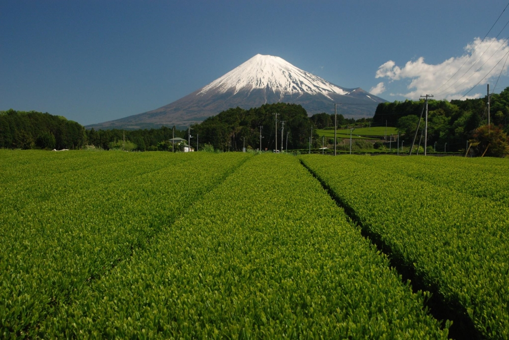 富士市大渕の茶畑からの富士山