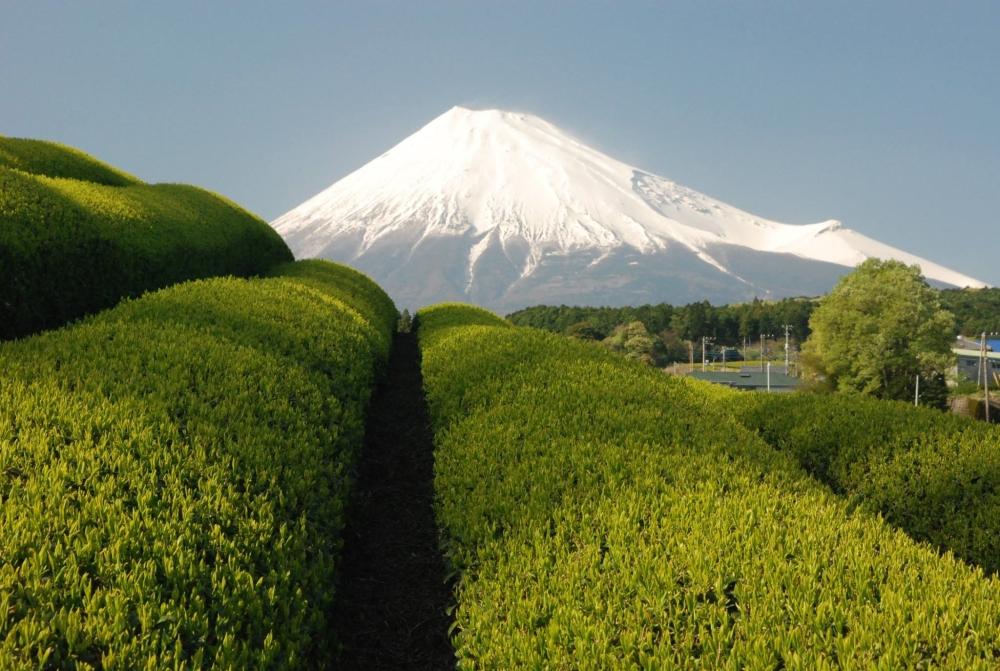 富士市大渕の茶畑からの富士山 現在茶畑はないそうです